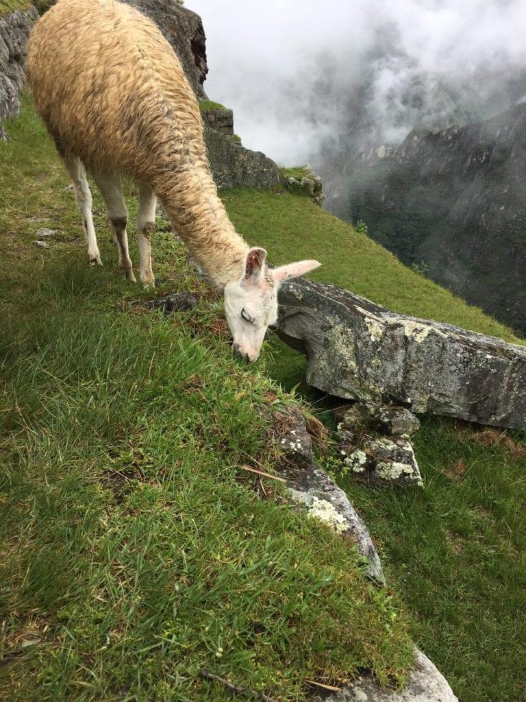 Llamas may fight the flu