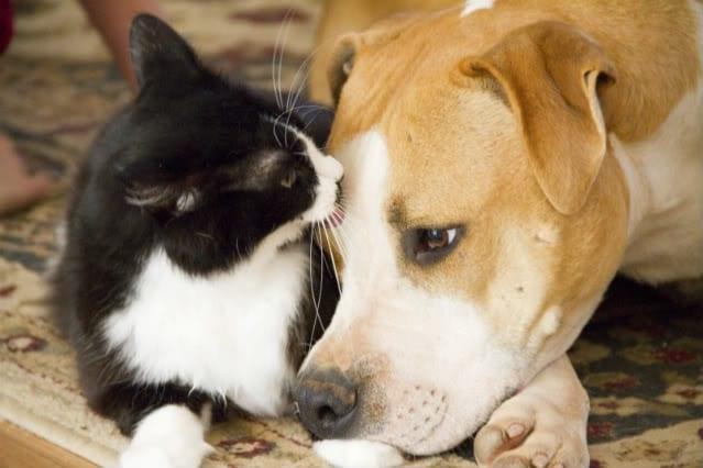 cat and dog dog flu