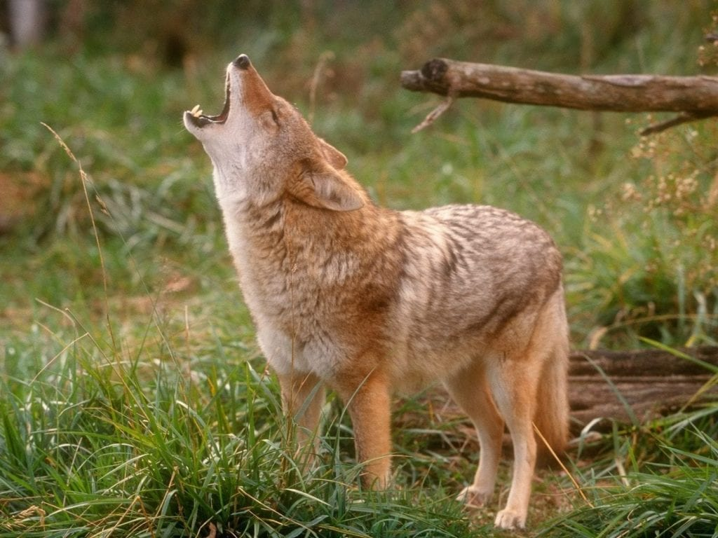howling-coyote
