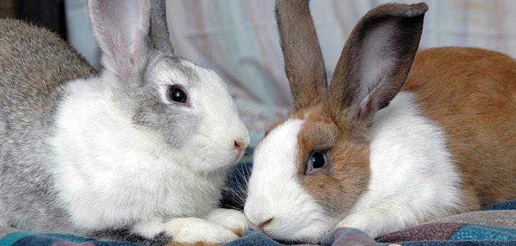Rabbits pets