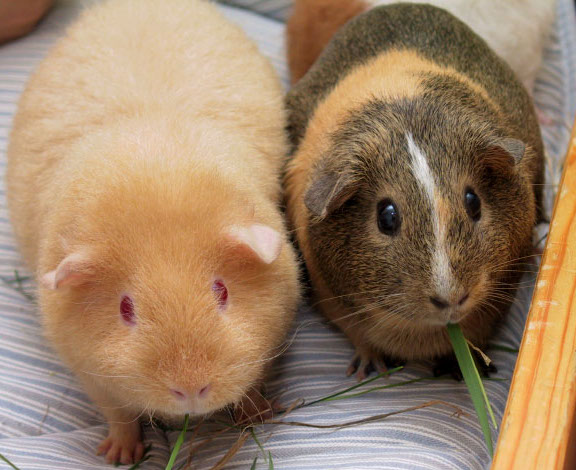 Two_Adult_Guinea_Pigs_
