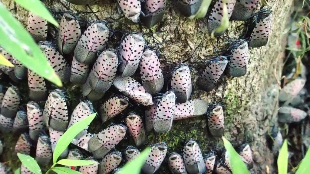 Spotted Lanternfly Infestation on Tree