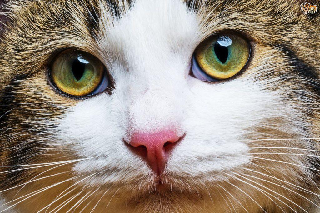 how-do-cats-get-fip-550d506a80407
