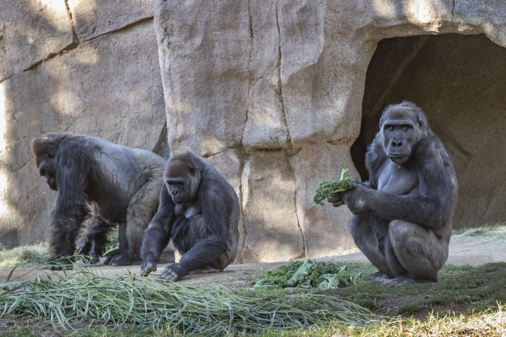"""Gorilla Troop at the San Diego Zoo Safari Park Test Positive for COVID-19 The great apes continue to be observed closely by the San Diego Zoo Global veterinary team  Members of the Gorilla Troop at the San Diego Zoo Safari Park have tested positive for SARS-CoV-2, the virus that causes COVID-19. On Wednesday, January 6, two of the gorillas began coughing. Given current circumstances, San Diego Zoo Global initiated the process of testing fecal samples from the gorillas for SARS-CoV-2 through the California Animal Health and Food Safety Laboratory System (CA HFS). On January 8, the preliminary tests detected the presence of the virus in the gorilla troop. The U.S Department of Agriculture (USDA) National Veterinary Services Laboratories (NVSL) confirmed the positive results on Monday, January 11.  The test results confirm the presence of SARS-CoV-2 in some of the gorillas and does not definitively rule out the presence of the virus in other members of the troop. """"Aside from some congestion and coughing, the gorillas are doing well,"""" said Lisa Peterson, executive director, San Diego Zoo Safari Park. """"The troop remains quarantined together and are eating and drinking. We are hopeful for a full recovery."""" It is suspected the gorillas acquired the infection from an asymptomatic staff member, despite following all recommended precautions including COVID-19 safety protocols from the Centers for Disease Control and Prevention (CDC) and San Diego County Public Health as well as wearing PPE when near the gorillas. Research studies have verified that some non-human primates are susceptible to infection with SARS-CoV-2, but this is the first known instance of natural transmission to great apes and it is unknown if they will have any serious reaction.  """"For almost one year our team members have been working tirelessly, with the utmost determination to protect each other and the wildlife in our care from this highly contagious virus,"""" said Peterson. """"The safety of o"""