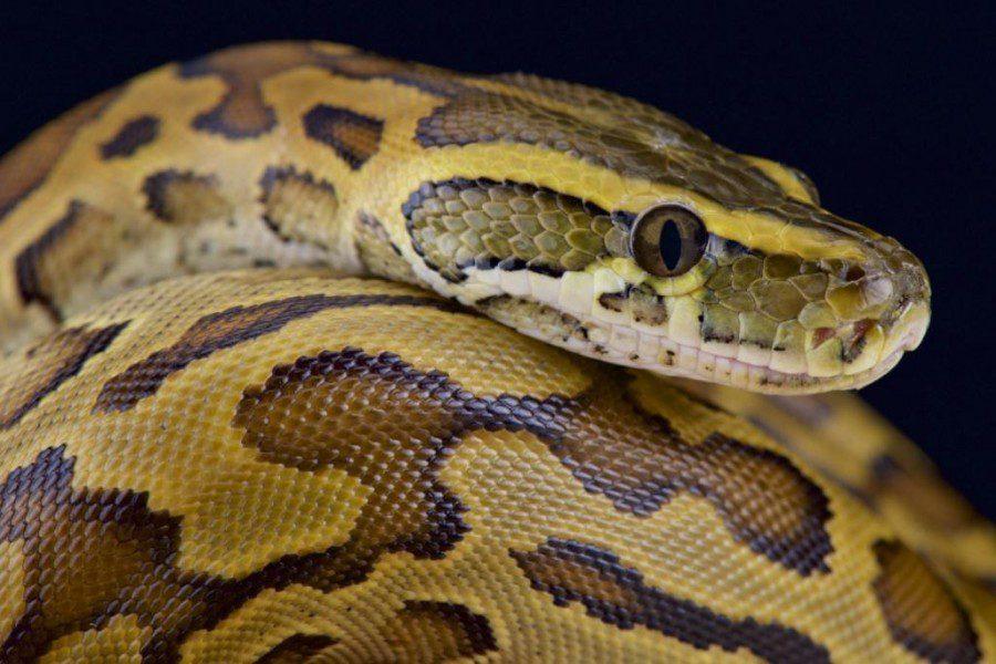 african_rock python